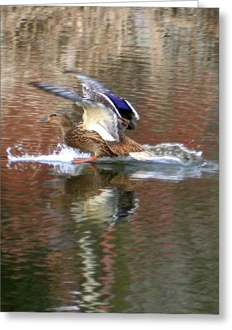 Landing Duck Greeting Card by Valia Bradshaw
