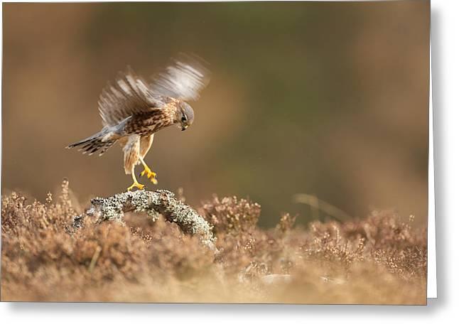 Landing Merlin Falco Columbarius   Greeting Card by Nigel  Atkinson