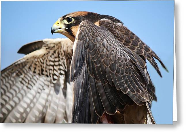 Lanner Falcon Greeting Card by Paulette Thomas