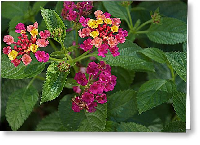 Greeting Card featuring the photograph Lantana by Joseph Yarbrough