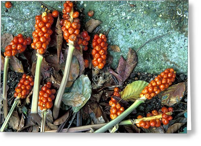 Large Cuckoo Pint (arum Italicum) Greeting Card by Dr Keith Wheeler