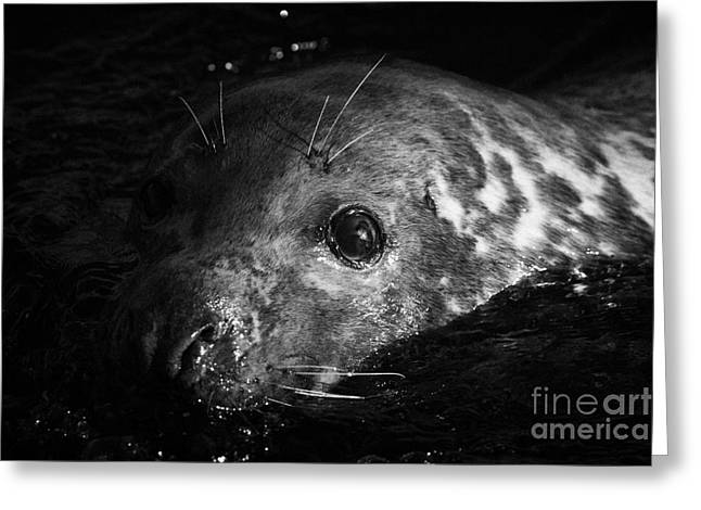large grey seal Halichoerus grypus with damaged cloudy eye swimming in clear water  Greeting Card