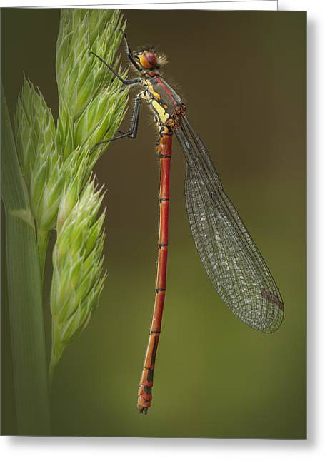 Large Red Damselfly Greeting Card by Andy Astbury