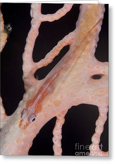 Large Whip Goby On Sea Fan, Papua New Greeting Card by Steve Jones