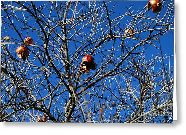 Greeting Card featuring the photograph Last Pomegranates On A Tree  by Alexandra Jordankova