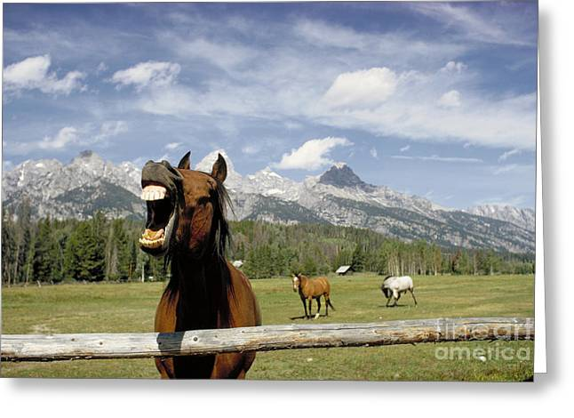 Laughing Horse Greeting Card by Porterfld and Chickerng and Photo Researchers