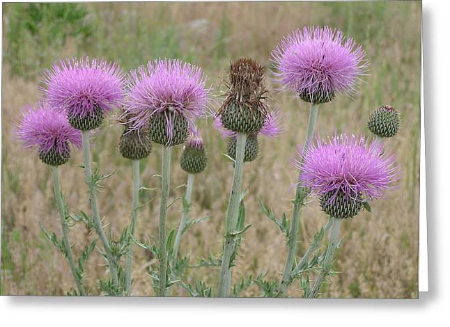 Lavendar Thistles In Bloom Greeting Card