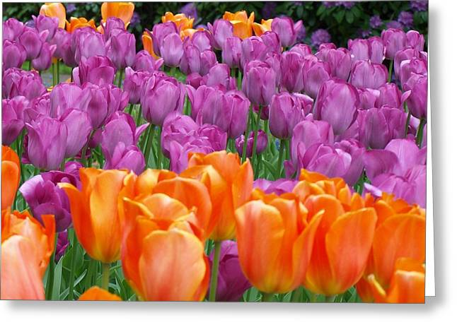 Lavender And Orange Tulips Greeting Card by Larry Krussel