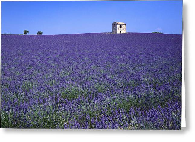Lavender Field In Southern France Greeting Card