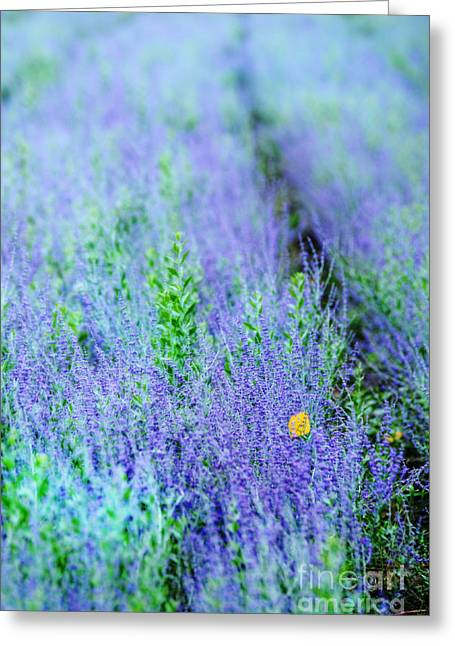 Lavender Greeting Card by HD Connelly