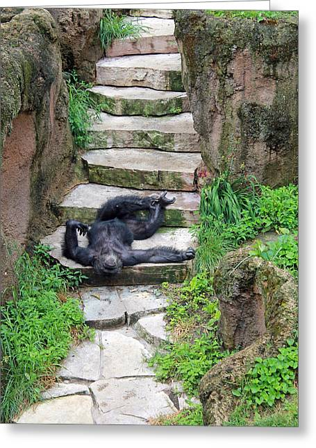 Lazy Chimp Greeting Card by Lori Johnson
