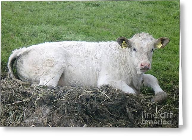 Lazy Cow Greeting Card by Anastasis  Anastasi