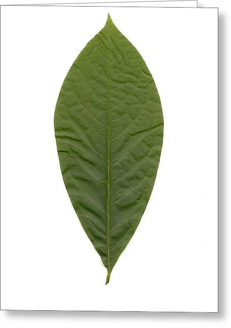 Leaf Of Pawpaw Greeting Card by Mary Ann Southern