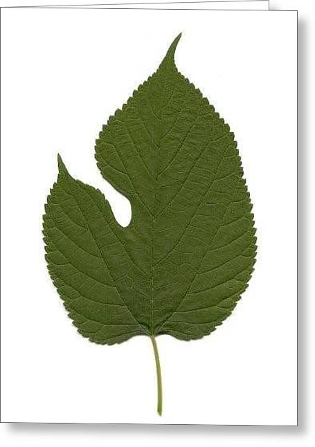 Leaf Of Red Mulberry Greeting Card by Mary Ann Southern