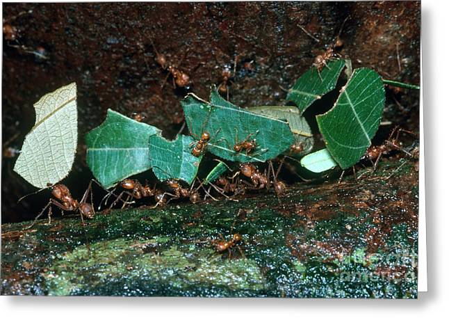 Leafcutter Ants Greeting Card