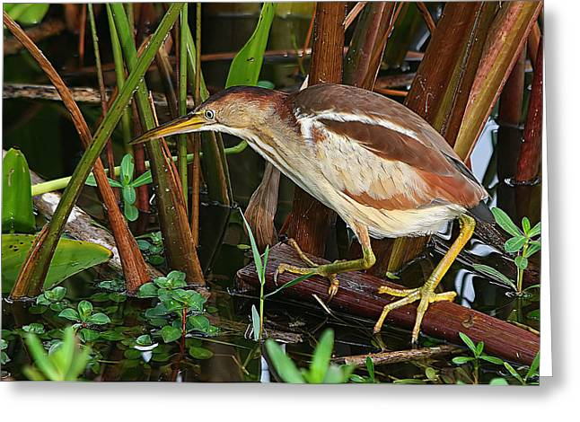 Least Bittern In The Open Greeting Card