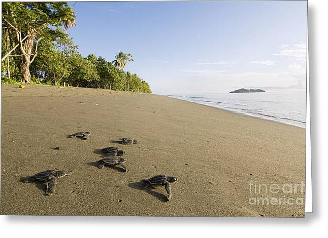 Leatherback Turtling Hatchlings  Greeting Card by Matthew Oldfield and Scubazoo and Photo Researchers