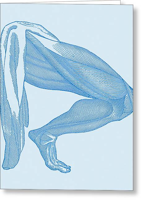 Leg Muscles Greeting Card by Mehau Kulyk
