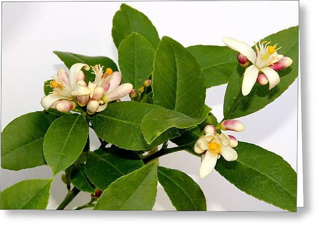 Lemon Blossom Greeting Card by Karen Grist