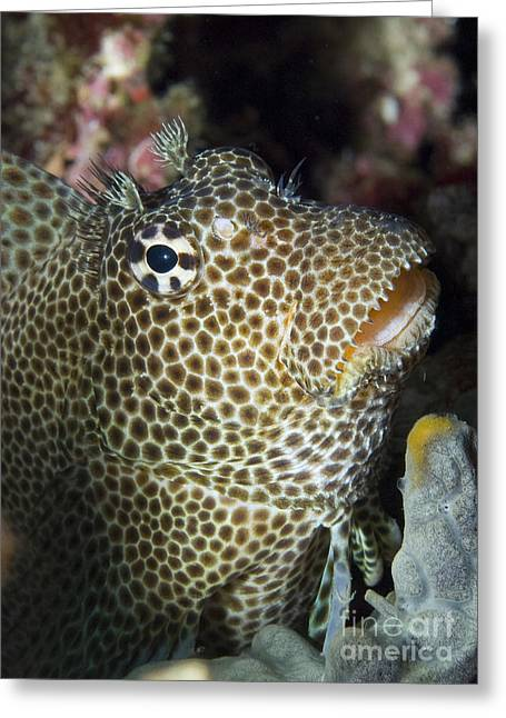 Leopard Blenny Perched On Coral, Papua Greeting Card by Steve Jones