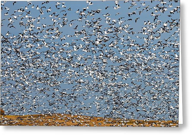 Lesser Snow Geese Migration Greeting Card by Tony Beck