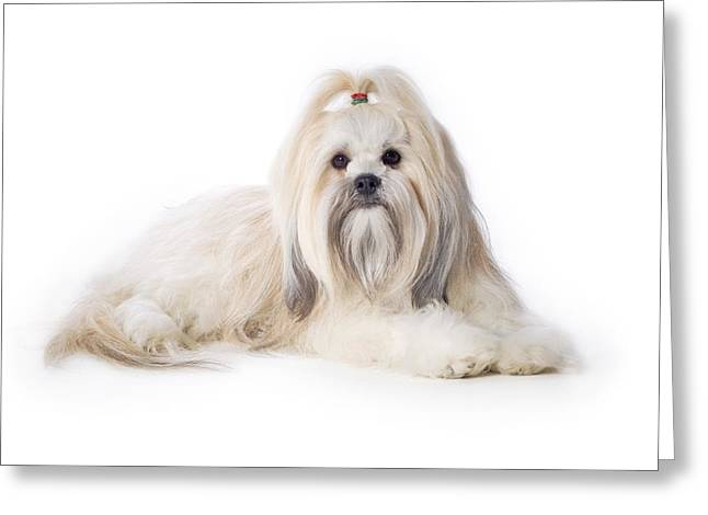 Lhasa Apso Greeting Card by Corey Hochachka