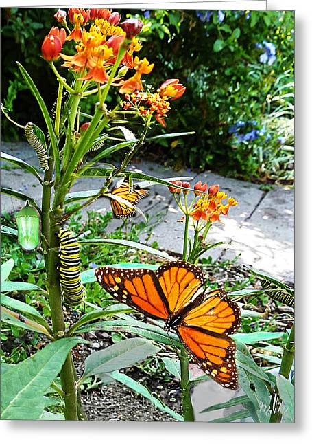 Life Cycle Of Monarch Greeting Card