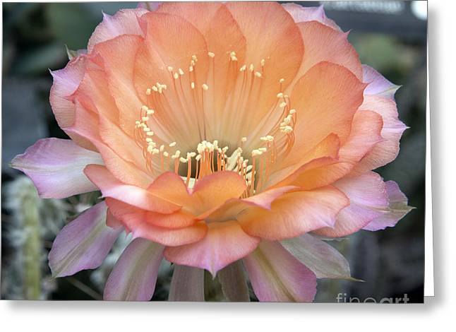 Like The Flower Waiting To Bloom Greeting Card by Elizabeth Chevalier