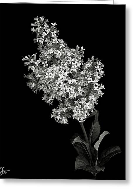 Lilac In Black And White Greeting Card