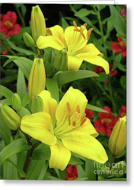 Lilies (lilium 'limelight') Greeting Card