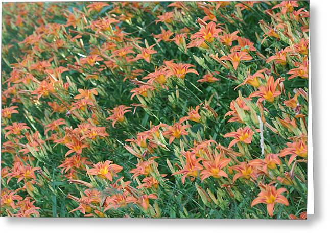 Lilies Of The Field Greeting Card