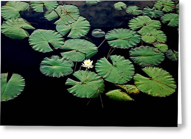 Lily Alone Greeting Card by May Photography