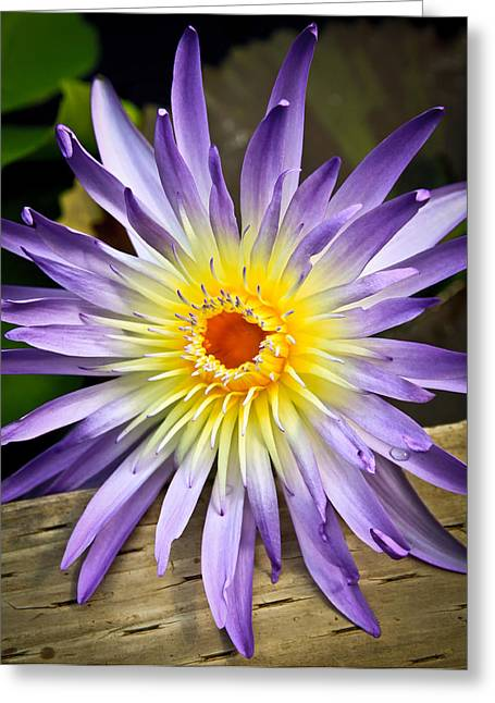 Lily At Rest Greeting Card by Steve McKinzie