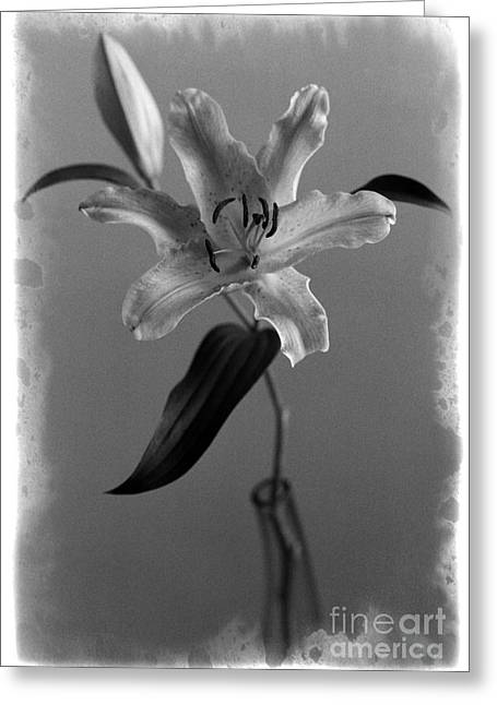 Lily Dr2 Greeting Card by Aldo Cervato