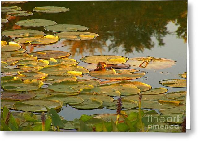 Lily Pads On The Water Greeting Card