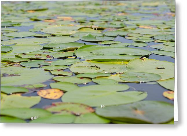Lily Pads On The Water Greeting Card by Margaret Pitcher