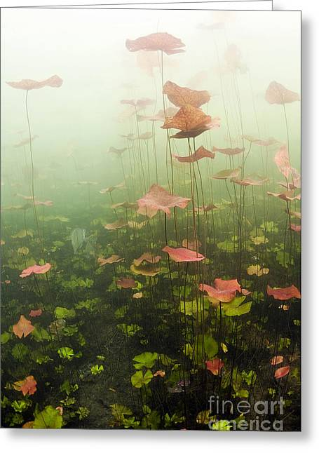 Lily Pads Underwater In Cenote Greeting Card by Karen Doody