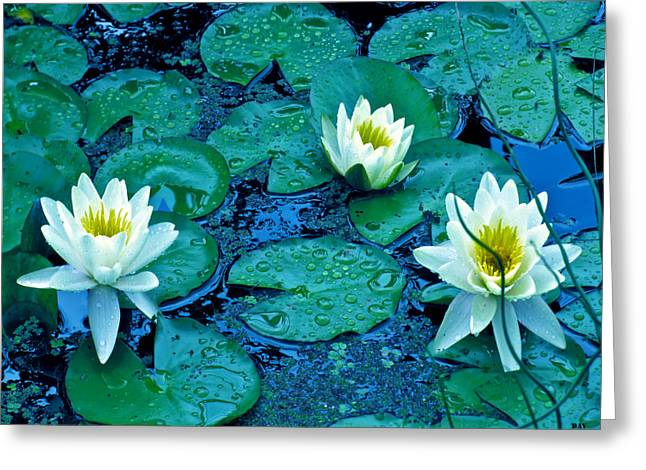 Lily Three Greeting Card by Debra     Vatalaro