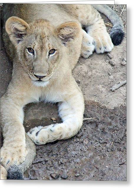 Lion Cub Greeting Card by Becky Lodes