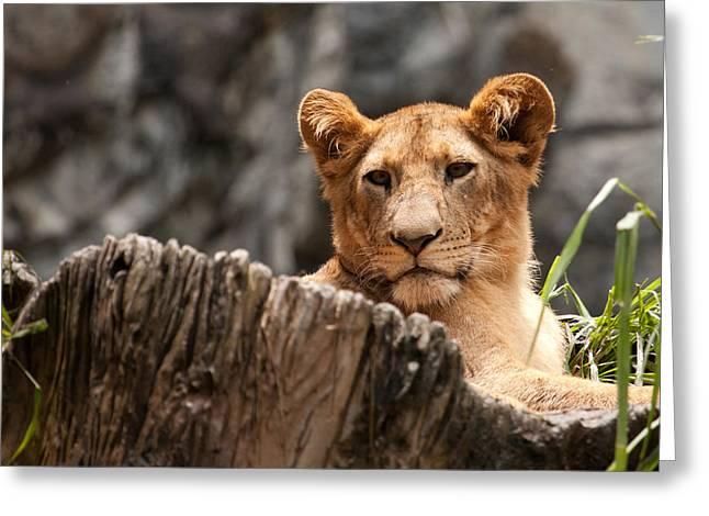 Lion Cub Greeting Card by Darren Strubhar
