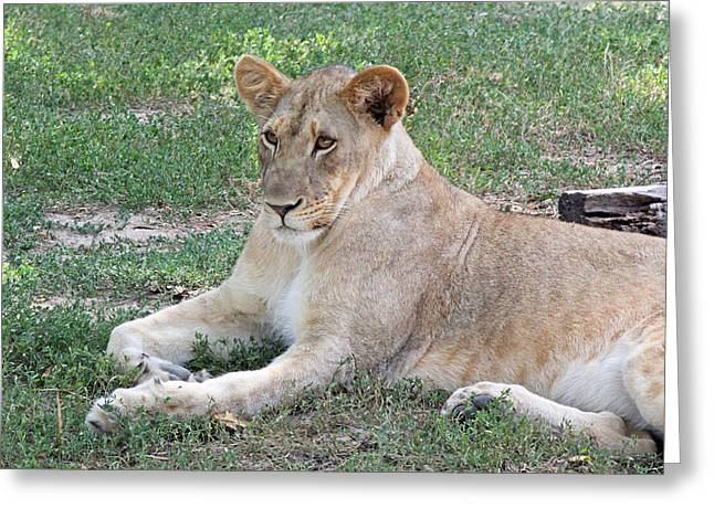 Lion Mama Greeting Card by Becky Lodes