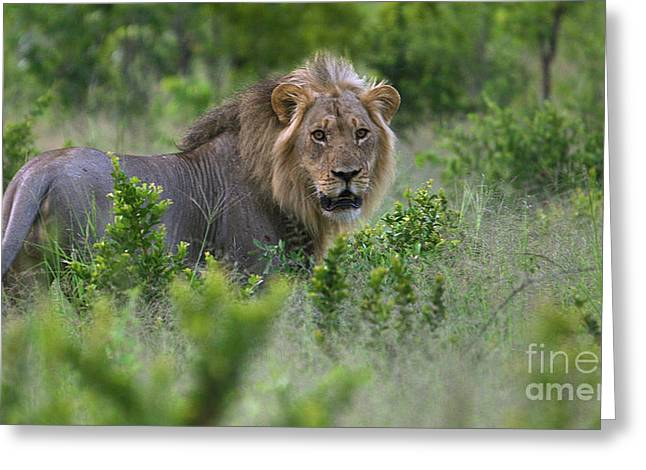Lion On Patrol Greeting Card