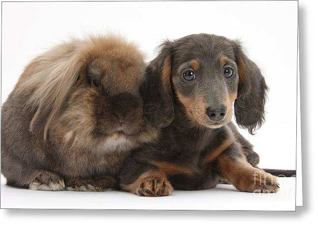 Lionhead-cross Rabbit And Dachshund Pup Greeting Card by Mark Taylor