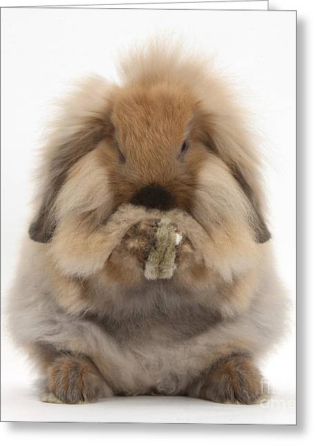 Lionhead X Lop Rabbit Grooming Greeting Card by Mark Taylor