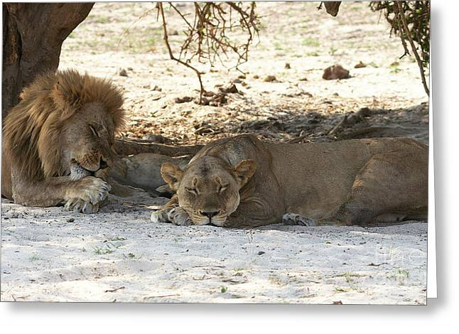 Lions Sleep Greeting Card