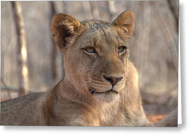 Lions Stare Greeting Card by Brandon Clay