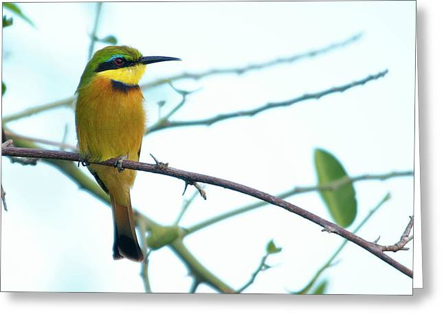 Little Bee-eater Greeting Card
