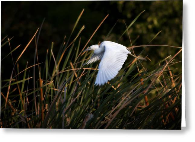 Greeting Card featuring the photograph Little Blue Heron Before The Change To Blue by Steven Sparks