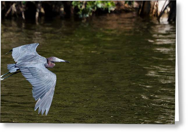 Little Blue Heron In Flight Greeting Card by Mike Rivera