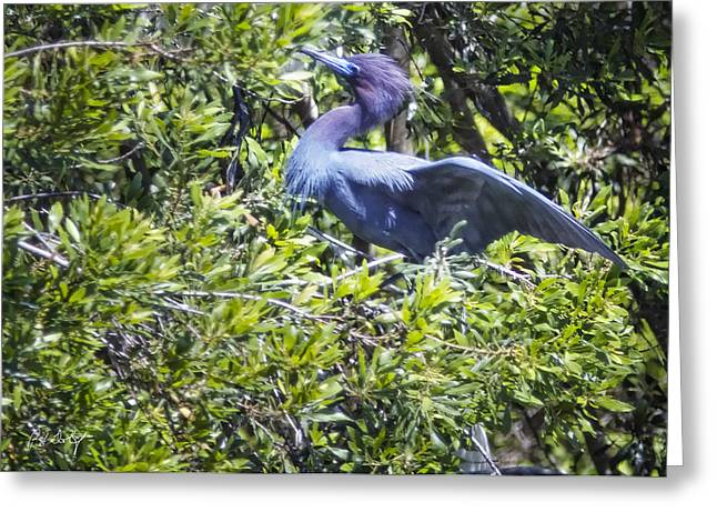 Little Blue Heron Greeting Card by Phill Doherty
